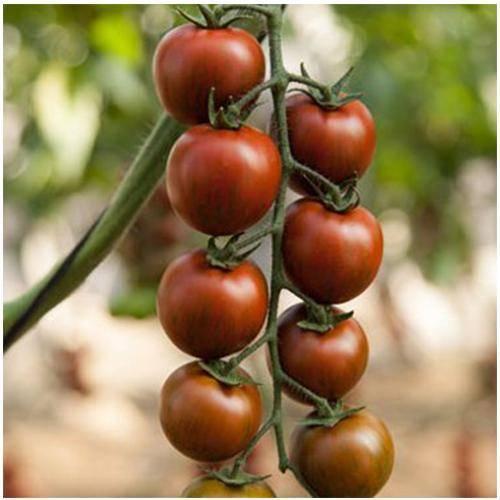 Характеристика и описание томата эльф, его урожайность