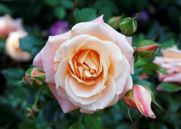 «роза в картошке». как вырастить цветок из черенков в домашних условиях?
