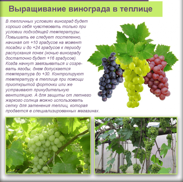Технология выращивания винограда в теплице: раскрываем секреты дачников-виноделов