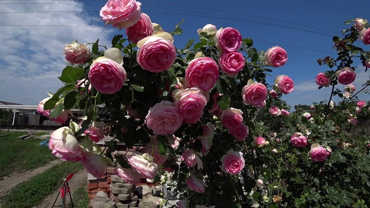 Роза пьер де ронсар: неприхотливый сорт с нежно-розовыми цветами