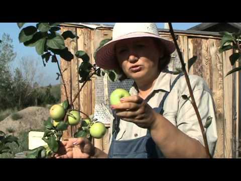 Описание и характеристики яблони Чудное, урожайность сорта и выращивание