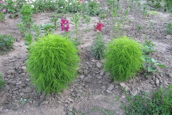 Как выращивать кохию на дачном участке