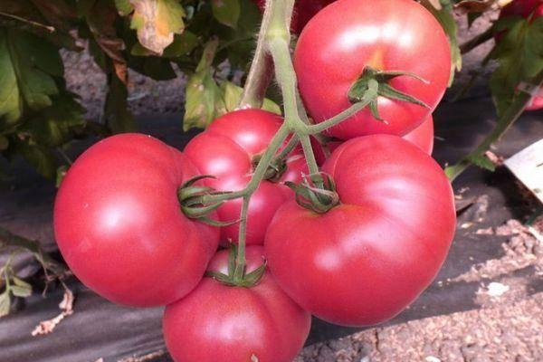 Очень урожайный томат «эм чемпион»: описание и характеристика сорта, урожайность помидоров