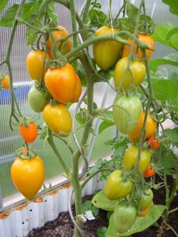Томат золотое руно — описание сорта, фото, урожайность и отзывы садоводов