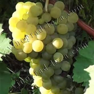 История, описание и характеристики сорта винограда ранний магарача и правила выращивания