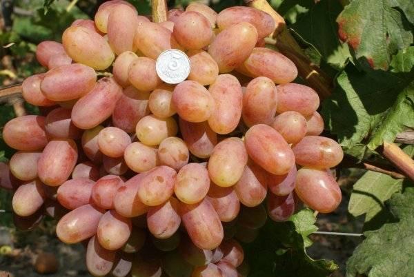 Обласканный солнцем виноград преображение на вашем дачном участке