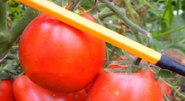 Описание сорта томата сахар красный и его характеристика