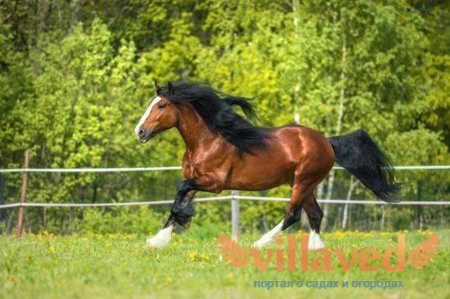 Порода лошади владимирский тяжеловоз: характеристика, содержание