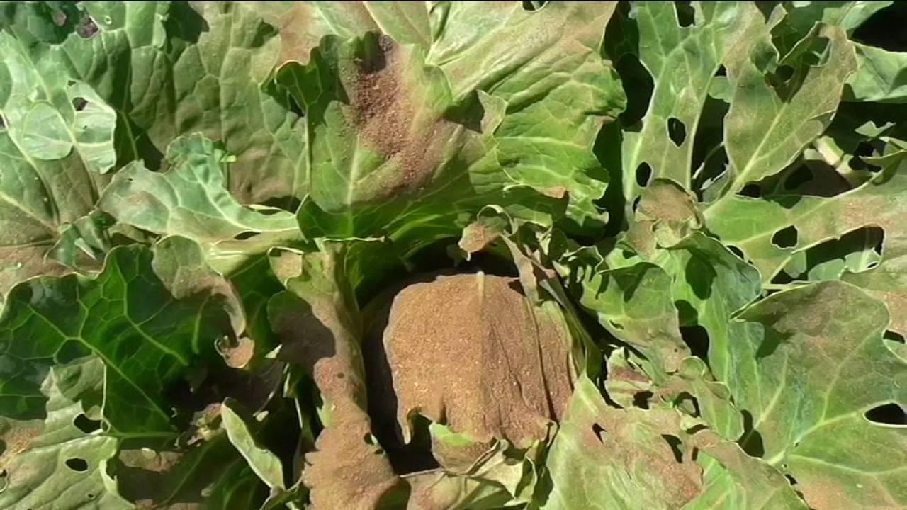 Табачная пыль: применение в саду и огороде