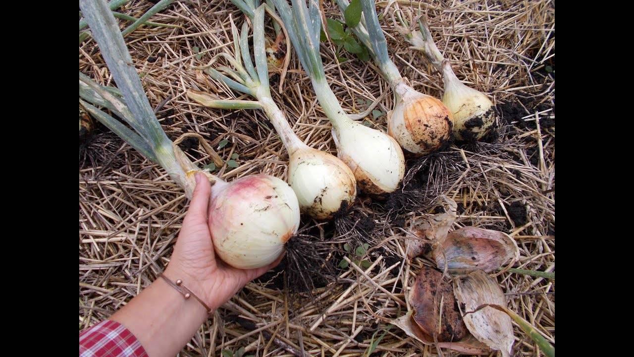Красный лук ред семко f1. описание сорта, особенности выращивания и хранения урожая