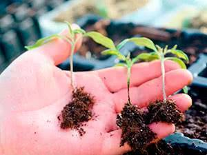 Обработка рассады томатов от недугов — список болезней с методами борьбы