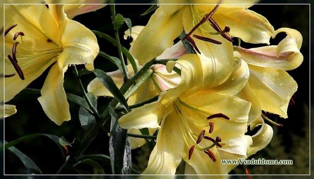 Лилия тигровая: описание, сорта, посадка и уход