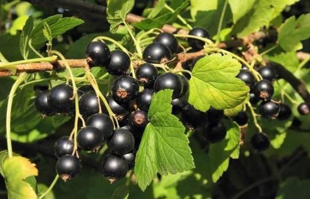 Выращивание белой смородины: от посадки и до сбора урожая