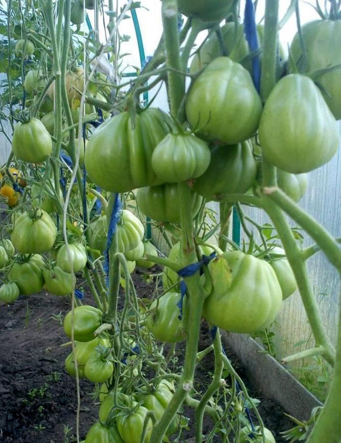 Сортовые томаты пузата хата: обзор урожайности, свойств и особенностей выращивания
