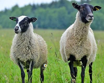 Овцеводство: особенности разведения, объемы производства и советы начинающему фермеру (100 фото и видео)