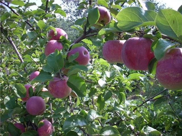 Описание и характеристики яблони сорта Орловское полосатое, посадка и уход
