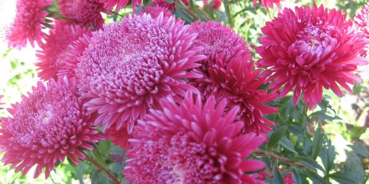 Цветок астра: особенности размножения и ухода