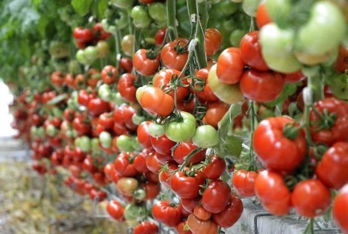 О томате самара: описание сорта, характеристики помидоров, посев
