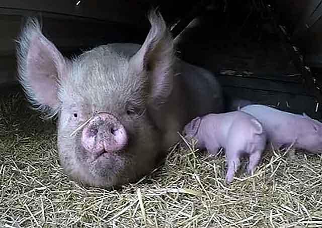 Как определить гуляется свинья или нет. основные подходы к случке: сколько дней гуляется свинья
