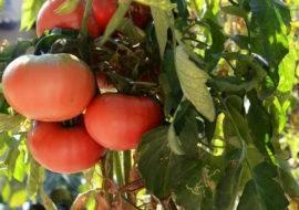 Томат малиновая империя: характеристики сорта и особенности выращивания