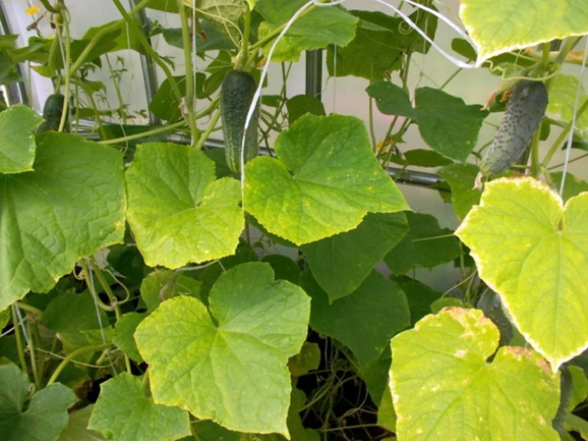 Почему листья огурцов желтеют в теплице и что делать