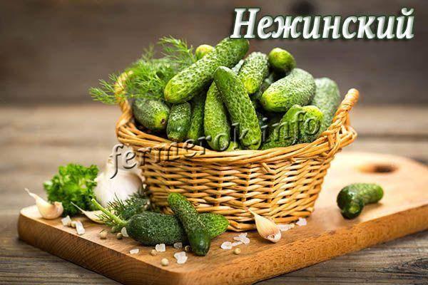 Характеристика и описание огурцов сорта нежинский, выращивание и уход