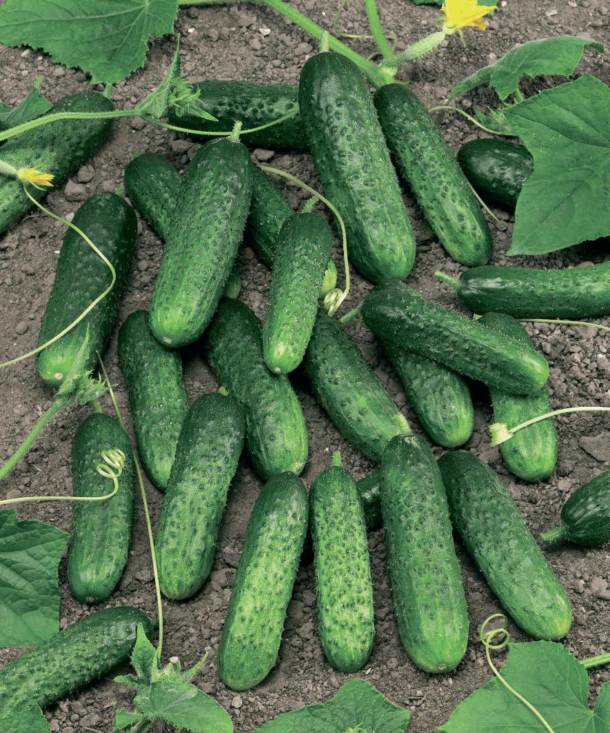 Описание сорта огурцов Маринда, их урожайность и выращивание