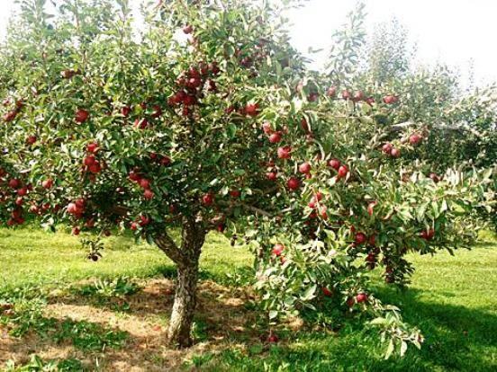 Описание популярного сорта яблони слава победителям