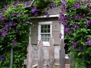 Украшаем свой сад клематисами, изучив правила посадки и ухода за растениями
