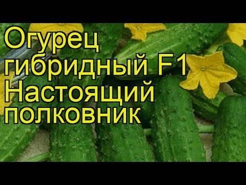 Огурец атлет — характеристика и правила выращивания