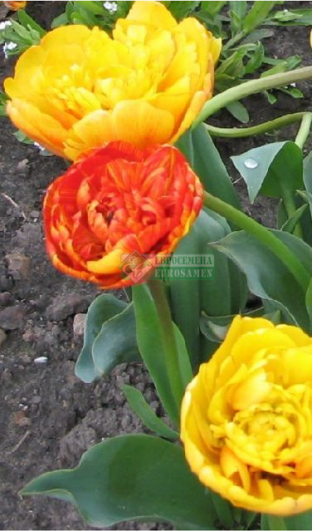 Тюльпаны: выращивание в саду, когда сажать и выкапывать