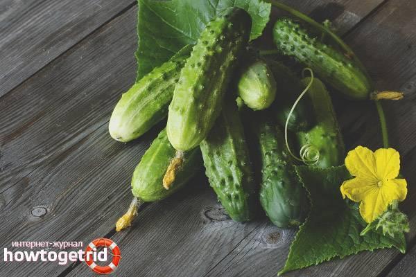 Огурцы кураж: особенности выращивания огурцов в открытом грунте и теплице