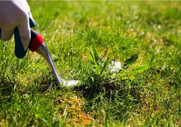 Какая газонная трава сама уничтожает сорняки