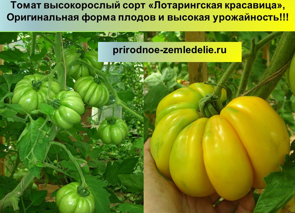 Лотарингская красавица: томат, который удивит соседей и родных