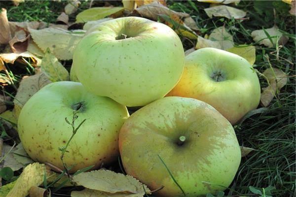 Яблоня горноалтайское: особенности сорта и ухода