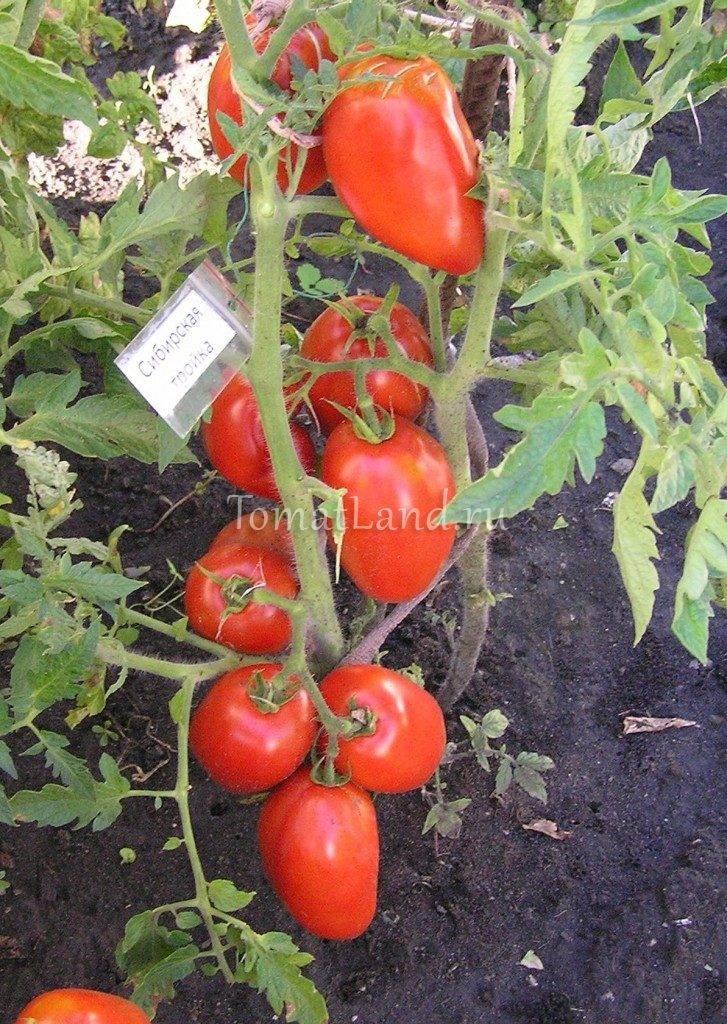 Характеристика и описание сорта томата Сибирская тройка, урожайность