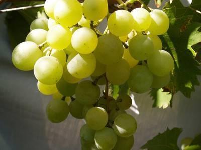 Описание и характеристики сорта винограда гала, история и тонкости выращивания