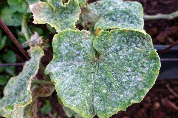 Основные вредители и болезни тыквы