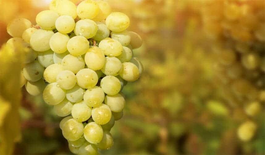 Виноград гелиодор: описание сорта и характеристики, правила посадки и ухода