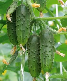 Сорт огурцов журавленок f1: описание и характеристика, отзывы