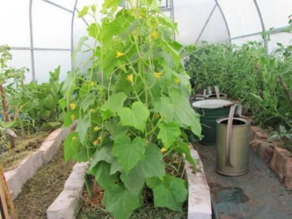 Как часто поливать огурцы в открытом грунте летом для богатого урожая