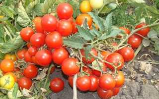 Томат фунтик — описание сорта, фото, урожайность и отзывы садоводов