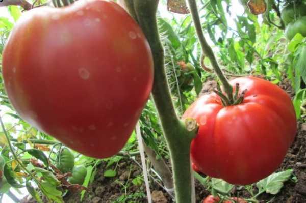 Характеристика и описание томата «коловый»