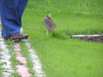 Какая газонная трава уничтожает сорняки