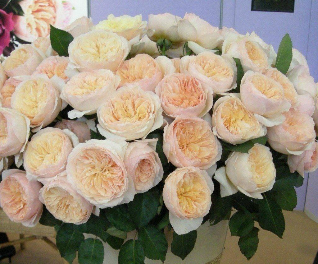 Описание 15 лучших сортов пионовидных роз, посадка и уход в открытом грунте