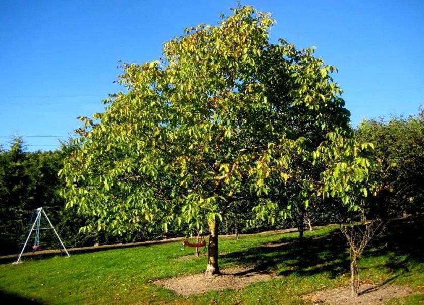 Орешник сортовой (фундук), об опыте выращивания на урале