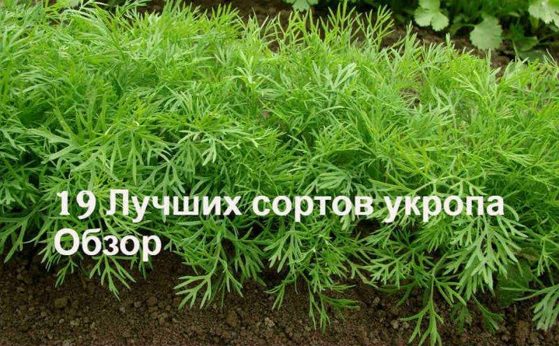 Укроп — лучшие сорта на зелень