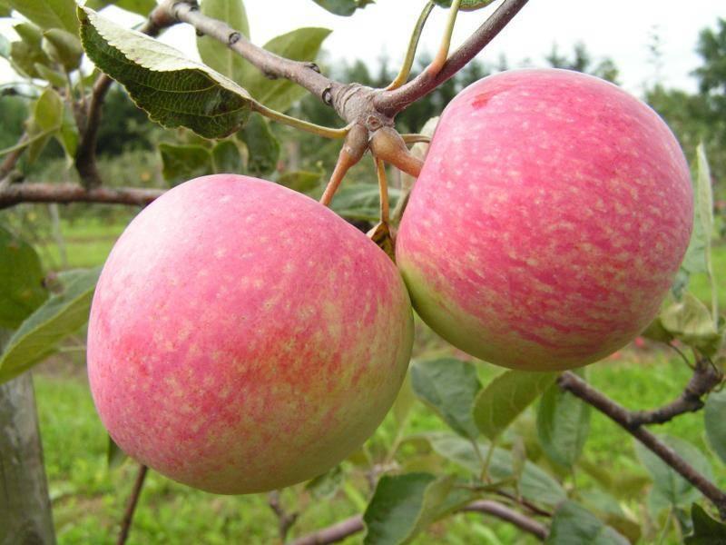 Яблоня слава победителям