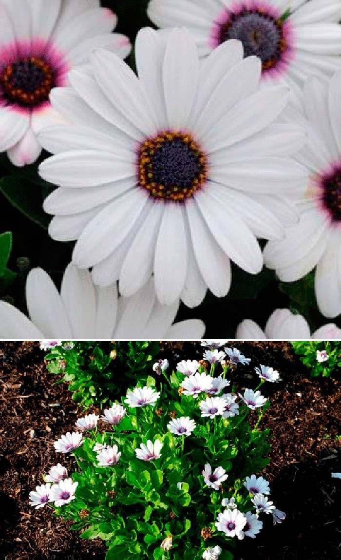 Цветок остеоспермум посадка и уход в открытом грунте выращивание из семян фото видов и сортов