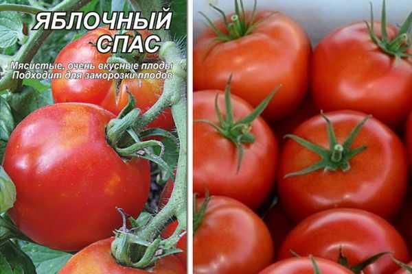 Характеристика и описание томата «яблочный спас»
